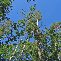 Baumkronen Gemeindewald Ammerndorf: Eichen und Kiefern